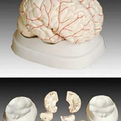 Cilvēka smadzeņu modelis XC-308