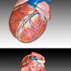 Cilvēka sirds modelis XC-307