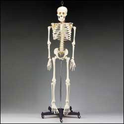 Cilvēka skelets XC-101