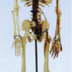 Cilvēka skelets XC-102B,XC-102A